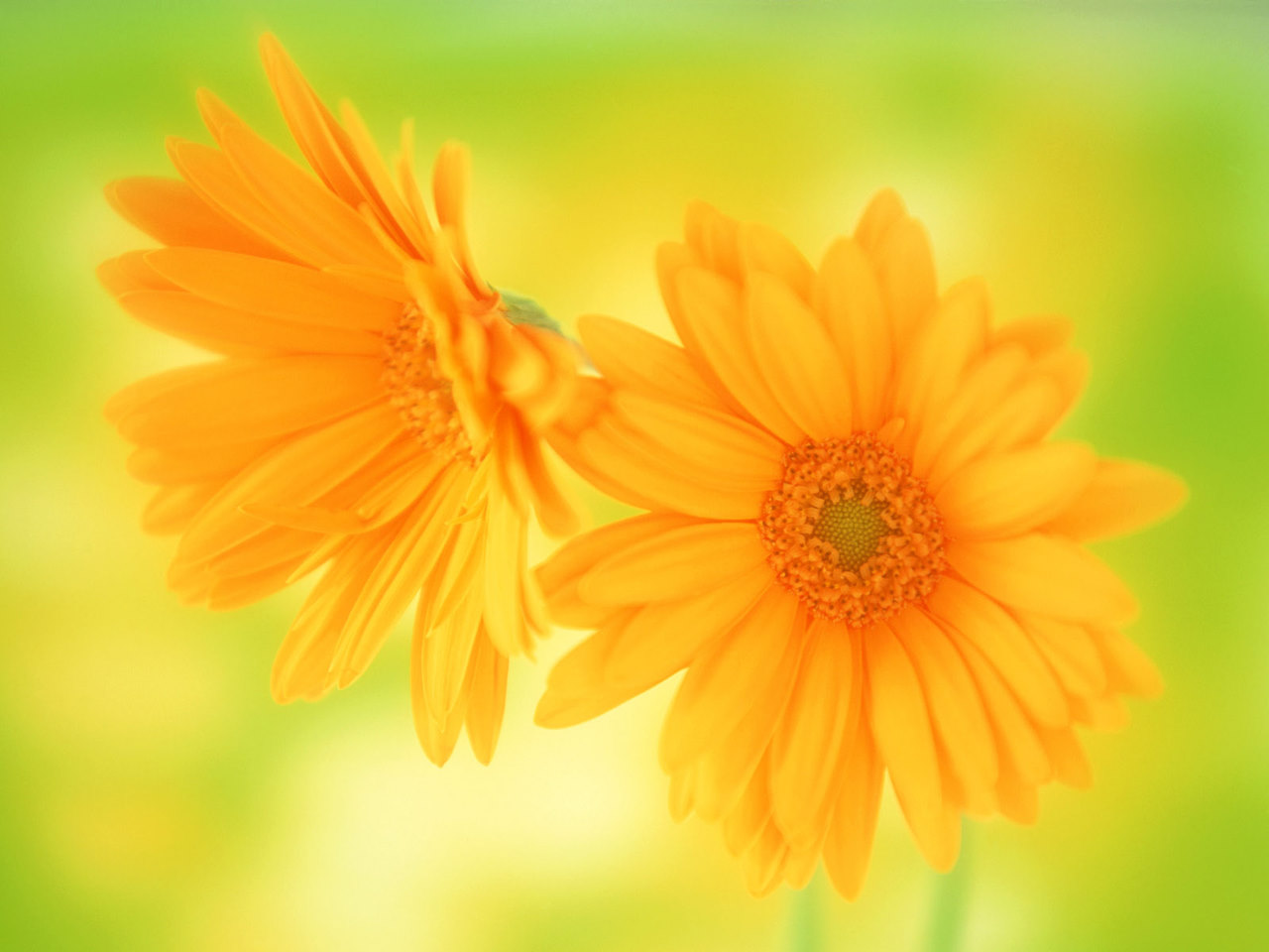 Yellow daisy beautiful flowers wallpaperg aavalon services yellow daisy beautiful flowers wallpaperg izmirmasajfo